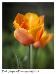 Orange Tulip (Paul Simpson Photography) Tags: paulsimpsonphotography imagesof imageof photoof photosof tulip flower flowers flowering petals sonya77 gardenphotography gardening flowerphotos spring2018 april stem orangeflower orangetulip naturalworld springtime