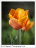 Orange Tulip (Paul Simpson Photography) Tags: paulsimpsonphotography imagesof imageof photoof photosof tulip flower flowers flowering petals sonya77 gardenphotography gardening flowerphotos spring2018 april stem orangeflower orangetulip naturalworld springtime
