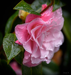 Icy Pink (Jocey K) Tags: newzealand nikond750 southisland akaora bankspeninsular camellia flowers raindrops