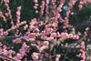 城南宮|京都 (KaguraYanki) Tags: canon650d 京都 花見 kyoto japan photography 城南宮 源氏物語 花之庭 梅花 枝垂梅 梅 梅花雨 しだれ梅
