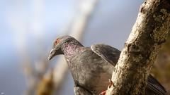 Nice Bird - 4828 (YᗩSᗰIᘉᗴ HᗴᘉS +15 000 000 thx) Tags: bird nature pigeon blue soft blur hensyasmine namur belgium europa aaa namuroise look photo friends be wow yasminehens interest intersting eu fr greatphotographers lanamuroise