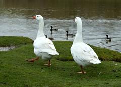 Goose Step. (jenichesney57) Tags: