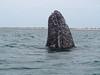 Spy hopping (Grazerin/Dorli Burge) Tags: whale graywhale spyhopping animal mammal whalewatching sanignaciolagoon bajacalifornia mexico lagoon waves water elements