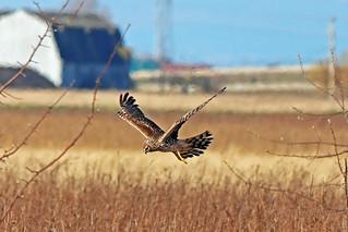 Northern Harrier Female Flying 18-0402-1052