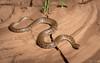 De Vis' Banded Snake (Denesonia devisi) (elliotbudd) Tags: de vis banded snake mud adder denisonia devisi maculata middleton winton boulia qld queensland elliot budd elapid elapidae