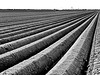 we are waiting for asparagus (heinzkren) Tags: feld field asparagus spargelfeld schwarzweis blackandwhite sw bw monochrome furche acker landwirtschaft agriculture marchfeld landschaft landscape erde linien lines horizont horizon panasonic lumix fluchtpunkt vanishingpoint spargel