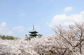 Omuro-sakura #2
