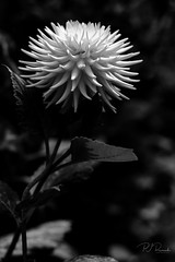 Dahlia #14 (Perry J. Resnick) Tags: 2017 pjresnick perryjresnick seattle pjresnickgmailcom pjresnickphotographygmailcom ©2017pjresnick ©pjresnick nature light fuji fujifilm noir atmosphere atmospheric digital shadow texture shadows wa washington angle perspective naturallight xf fujinon resnick soft design plant depthoffield black fujixpro2 xpro2 bokeh blur blurry rectangle rectangular outdoor 56mm fujinon56mmf12 56mmf12 foliage leaf flower garden volunteerpark dahlia monochrome monochromatic blackwhite bw 4x6 drama
