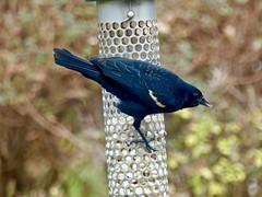 Red-winged Blackbird (Agelaius phoeniceus) (WRFred) Tags: bird backyardwildlife nature maryland montgomerycounty washingtonwestquad wildlife feeder blackbird