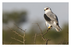 2018 02 01_Black-shouldered Kite-1 (Jonnersace) Tags: africa blackshoulderedkite elanuscaeruleus blouvalk bird birdofprey raptor hunter kite eyes wild nature wildwingssafaris canon canon7dii canon100400ii krugernationalpark southafrica beak talons
