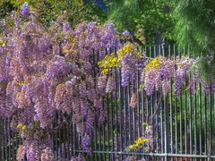 Wisteria Invasion (clarkcg photography) Tags: wisteria plant spring growth fence hanging fenceline iron wroughtironfence color fencedfriday