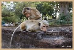 _01A2134 (Dream Delivered (Dreamer)) Tags: srilanka animal wild park monkey ngc npc
