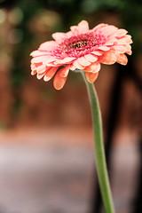 20180404 gerbera (chromewaves) Tags: fujifilm xt20 xf 1855mm f284 r lm ois tokyo japan aoyama flower market