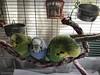 Birdies (Steve Bowbrick) Tags: budgie bird budgerigar cage radlett pet