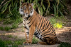 Sitting Pretty (helenehoffman) Tags: nelson carnivore tiger sandiegozoosafaripark conservationstatusendangered mammal bigcat sumatrantiger felidae sumatra pantheratigrissumatrae animal