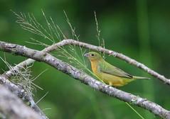 (seanasasnett) Tags: florida green nature wildlife birds bird birding paintedbunting bunting