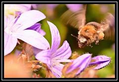 """Buzzin'..."" (NikonShutterBug1) Tags: nikond7100 tokina100mm bee insect entomology nature wildlife bokeh spe smartphotoeditor closeup macro flower flora fauna wingwednesday"