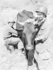 Member of the First Special Service Force milking a cow, Anzio beachhead, Italy / Membre de la Première Force de Service spécial trayant une vache, tête de pont (zone sécurisée) d'Anzio (Italie) (BiblioArchives / LibraryArchives) Tags: lac bac libraryandarchivescanada bibliothèqueetarchivescanada canada secondworldwar sww worldwarii worldwartwo wwii firstspecialserviceforce devilsbrigade premièreforcedeservicespécial brigadedudiable soldiers soldats men hommes cow vache milk lait anzio beachhead zonesécurisée italy italie lieutcenye april201944 20avril1944 departmentofnationaldefence ministèredeladéfensenationale