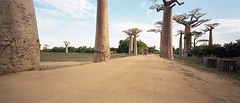 (Hogarth Ferguson) Tags: baobaballey avenueofthebaobab madagascar morondava hogarthferguson film travel 6x14 portra portra400 58mmsuperangulon ishootfilm travelwithfilm filmphotography