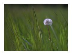 Sea of Green (VanveenJF) Tags: fujinon m42 sony bokeh stalbert canada green dandelion paardebloem onkruid weed vintage lens