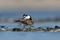 Semipalmated Plover preening (JEO126) Tags: