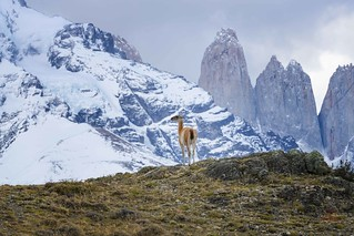 Guanaco Takes in the View