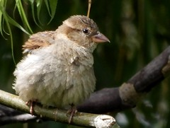 Puffy Sparrow (starmist1) Tags: puffedupsparrow sparrow willow willowtree weepingwillow perch branch limb leaves june spring