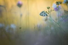 Golden evening (donlope1) Tags: macro nature light flower fleur papillon butterfly sunset bokeh wildlife