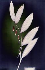 Polygonatum (batuda) Tags: lumen print photogram paper kodak polymax undeveloped unfixed nature forest wood plant grass polygonatum polygonatummultiflorum solomonsseal dumsiai jonava lithuania lietuva sunprint