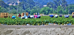 June21Image2496 (Michael T. Morales) Tags: agriculture farm cultivation rows furrows soil harvest salinasvalley ag
