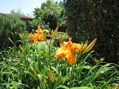 Lily flowers from my garden (greg_998) Tags: flower fleur lys lily garden