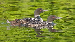 Common Loon Pair with Babies