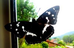 mon quatrième  Papillon pour 2018 ! (jeanpierrefrey) Tags: papillon obersteinbach alsacedunord butterfly mariposa schmetterling petitsylvain