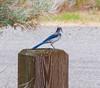 A Look From A Scrub Jay (John Kocijanski) Tags: nevada bird scrubjay animal wildlife nature canon18135mmstmlens