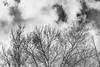 Claret ashes in winter (i-lenticularis) Tags: act australia bw canberra canon50f14ltm japanesesummilux m82 claretash f8 monochrome orangefilter winter bnw