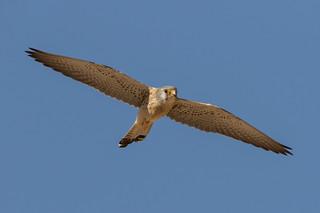 Lesser Kestrel male (Falco naumanni)