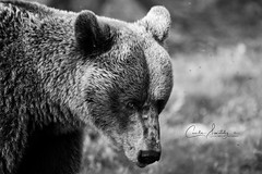An adult male bear surrounded by mosquitos (CecilieSonstebyPhotography) Tags: bjørn portrait thegazw finland bears canon animal anadultmalebearsurroundedbymosquitos markiii bear mosquito malebear bokeh bamse canon5dmarkiii brownbear animals ef100400mmf4556lisiiusm adultbear closeup male black white bw specanimal