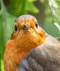 Robin (Erithacus rubecula) (Jonathan Saull) Tags: robin olympusomdem1 olympusmzuikodigitaled300mm140ispro wildlife wildbirds birds britishgardenbirds