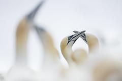 Gannet Courtship (Daniel Trim) Tags: northern gannet morus bassanus saltee great island bird nature sea colony photography wildlife
