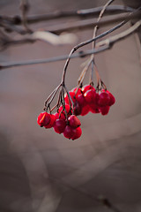 Berrys (moritzsee) Tags: berrys berry beeren red rot grell bright colour farbe winter fall autumn herbst canoneos1100d canon frankonia franken bayern bavaria germany outdoor wilderness