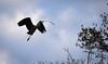 Heron Nest Building (littlestschnauzer) Tags: ysp heron bird flight flying wildlife nest building twigs beak sky west yorkshire uk birds large nature