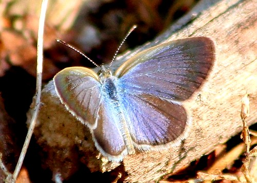 IMG_2257/Thailand/Koh Samui Island/Zizéeria Karsandra/femelle/Recto/Very small Butterfly/