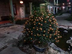 cây kumquat (bagnaramatt) Tags: cây