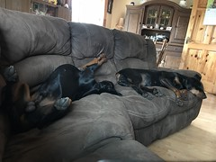 A Whole Lot Of Dobie (firehouse.ie) Tags: k9 dogs gabbana saxon animal dog pinscher pinschers doberman dobermann dobies dobie dobeys dobey dobes dobe