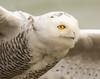 Intense . . . (Dr. Farnsworth) Tags: bird female owl snowyowl flight intense takeoff liftoff muskegon mi michigan winter november2017