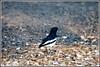 7757 - magpie robin (chandrasekaran a 47 lakhs views Thanks to all) Tags: magpierobin birds nature india chennai canoneos6dmarkii tamronsp150600mmg2