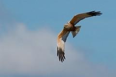 Marsh Harrier (redmanian) Tags: marshharrier bird rspb ianredman raptor