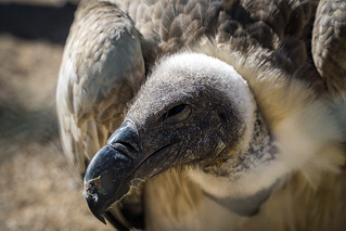 Vulture - Zoo Tripsdrill Germany
