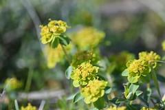 Euphorbia flavicoma (esta_ahi) Tags: olèrdola flor flora flores silvestres euphorbia flavicoma euphorbiaflavicoma euphorbiaceae green penedès barcelona spain españa испания