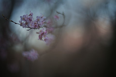 something to remind (Lamson**NG) Tags: blur memory fading fade spring blossoms floral flowers lamson bokeh